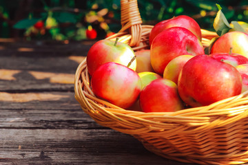 Basket of apples on shabby wooden planks. Apple picking concept. Agriculture, orchard, nature, organic food, fall, autumn harvest, closeup