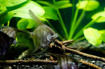 Angelfish in aquarium.