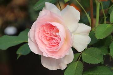Morden Blush Rose In Bloom, Edmonton, Alberta