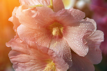 Flowers alcea also known as hollyhocks at sunrise with instagram style filter.