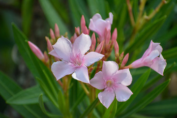 Tropical pink flower blossoms on Maui