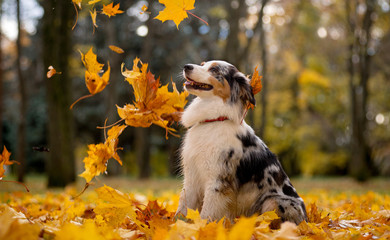 Photo sur Plexiglas Chien Aussie, the Australian shepherd marble fall in the pile of leaves flying around the leaves of the maple