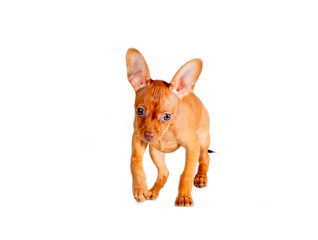 Active puppy jumping on white isolated background. Cute, red, little dog running forward. The animal is in motion. Horizontal image. Smooth-Haired Russian Toy. Copy space. Free space for text.