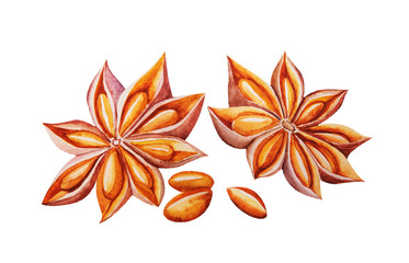 Watercolor drawing of star anise Illicium verum fragrant spice on white background
