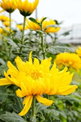 close up yellow chrysanthemum flower bloom beautiful, flower in garden, The concept of summer or spring
