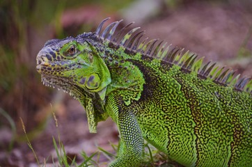 Close up of a large green iguana