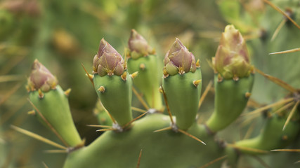 Fresh flower buds of Barbary fig or Opuntia ficus-indica, a cactus plant originary from Mexico, now growing around the world in arid areas, and being cultivated for its popular fruit: prickly pears