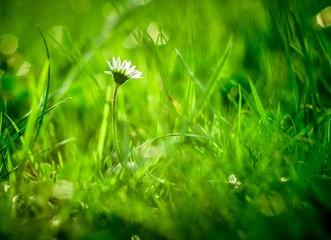 pojedyncza stokrotka wśród traw na zielonym tle