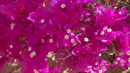 Background of Bougainvillea spectabilis also known as Buganvilla plant with fuchsia flower-like spring leaves near its flowers, a popular ornamental plant in Tenerife, Canary Islands, Spain