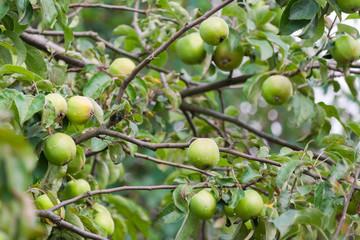 green apples ripen on a tree