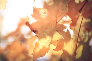 Blurred Autumn maple leaves