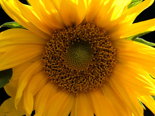 A full frame close up of a bright yellow sunflower with sunlight shining thought the petals on a dark background