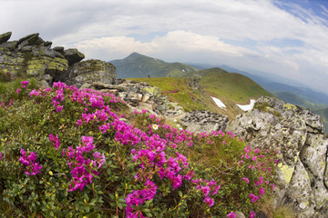 Wall Mural - Rhododendrons on Chernogor about Goverly