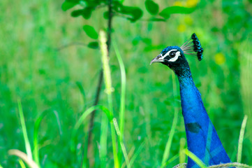 Peacock head and bright blue neck peering out in the middle of green plants and bushes. The bright colors and beautiful feathers make this a perfect national bird for india