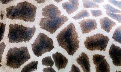 Close-up of giraffe skin, nature pattern, background