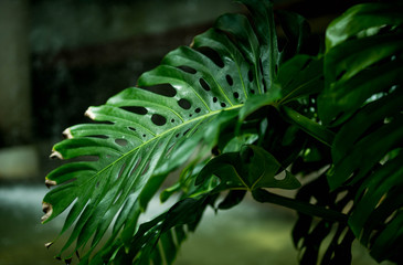 Dark green leaf of monstera or split-leaf philodendron (Monstera deliciosa) on black background