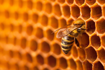 Spoed Fotobehang Bee Bee on honeycomb.