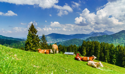 Brown cows in the alps of Bavaria - Germany Wall mural