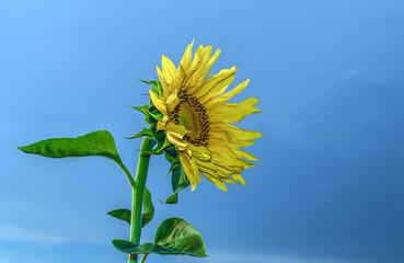 kwiat słonecznika na błękitnym tle