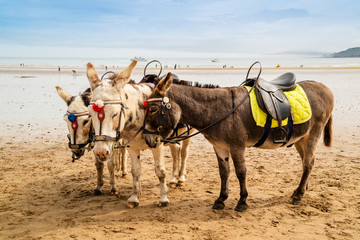 Trio of donkeys at a sandy beach resort in UK.