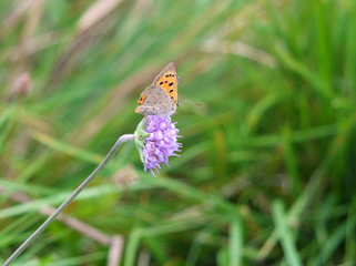 Close up of a small copper butterfly resting on a small purple flower against a blurred meadow green background