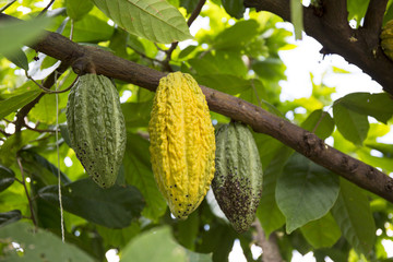 Cacao tree with fruits