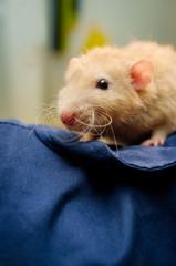 Fancy Pet Rat