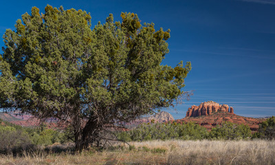 Large evergreen tree in Sedona Arizona Red Rock country with Cathedral Rock in the distance.