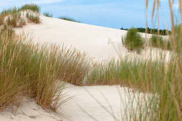 European beach grass along the shore isolated in the dunes with white sand and blue skies