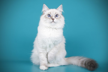 Ragdoll cat on colored backgrounds