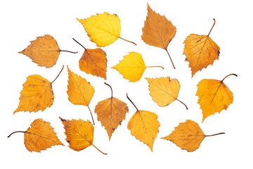 Yellow birch leaves on white background, isolated, close-up