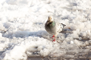 dove walking in the snow