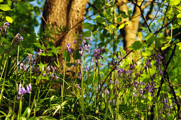 Close up view of woodland floor with ferns and wild english bluebells in springtime sunlight