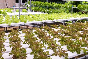 fresh Salad vegetable, radicchio planting on hydroponic farm for health market