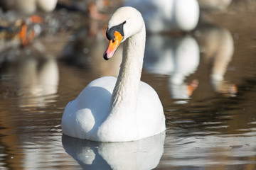 white swan on the water