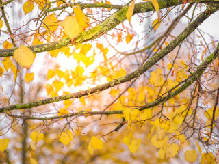 Warm yellow leaves on tree branches and autumn sunlight peeping through the foliage