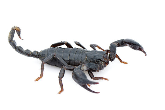 Image of emperor scorpion (Pandinus imperator) on a white background. Insect. Animal.