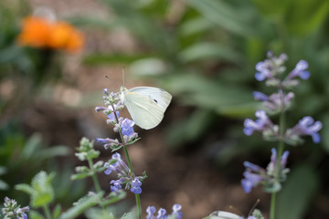 Side view of white butterfly on lilac flowers