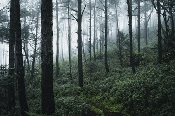 Pine in the rainy season And fog