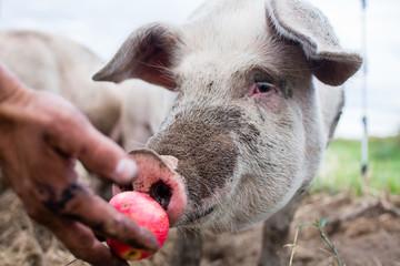 Pig eats an organic apple from a farmer's hand