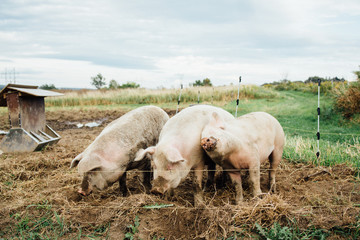 Cute pigs cuddle together on an upstate New York farm