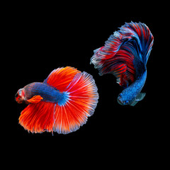 Siamese fighting fish or Betta splendens on black background, A freshwater fish with beautiful colors.
