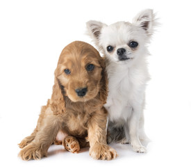 puppy cocker spaniel and chihuahua
