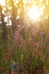 lilac wildflowers in the autumn forest at sunset.wild flowers nature background