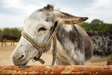 Close up portrait of a grey, small donkey nibbling and chewing the stable wood log fence in a farm on a cloudy day