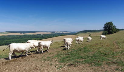 cattle in the Vexin regional nature park