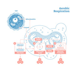 Aerobic Respiration bio anatomical vector illustration diagram, labeled medical scheme
