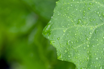 The rain drops on the green leaves.
