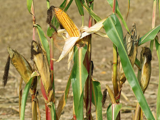 close up of corn plants with open and closed corncob