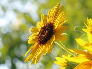 Close up of sunflower in front of leaves bukeh